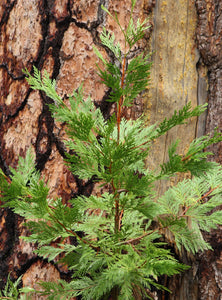 Incense Cedar | Lot of 30 Tree Seedlings | The Jonsteen Company