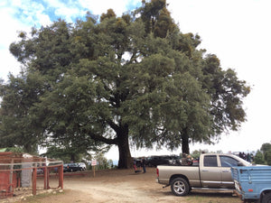 Interior Live Oak | Medium Tree Seedling | The Jonsteen Company