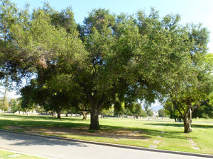 Interior Live Oak | Lot of 30 Tree Seedlings