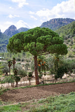 Load image into Gallery viewer, Italian Stone Pine | Small Tree Seedling | The Jonsteen Company