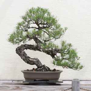Japanese Black Pine | Small Tree Seedling | The Jonsteen Company