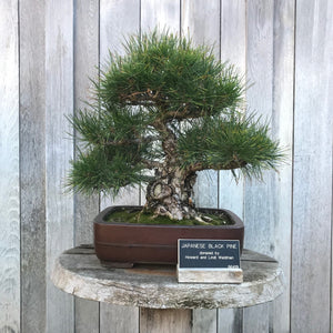 Japanese Black Pine | Mini-Grow Kit | The Jonsteen Company