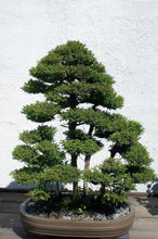 Load image into Gallery viewer, Japanese Cedar | Small Tree Seedling | The Jonsteen Company