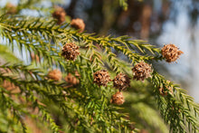 Load image into Gallery viewer, Japanese Cedar | XL Tree Seedling | The Jonsteen Company