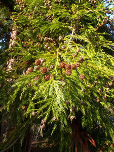 Japanese Cedar | Small Tree Seedling | The Jonsteen Company