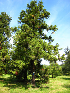 Japanese Cedar | XL Tree Seedling | The Jonsteen Company