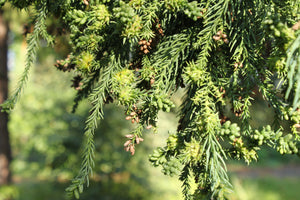 Japanese Cedar | Medium Tree Seedling | The Jonsteen Company
