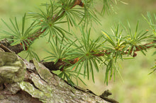 Load image into Gallery viewer, Japanese Larch | Small Tree Seedling | The Jonsteen Company