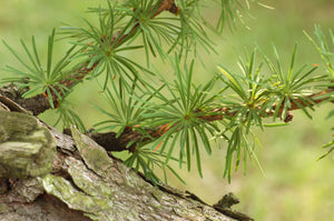Japanese Larch | Small Tree Seedling | The Jonsteen Company