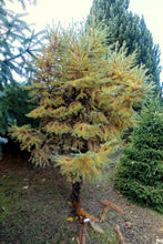Load image into Gallery viewer, Japanese Larch | Large Tree Seedling | The Jonsteen Company