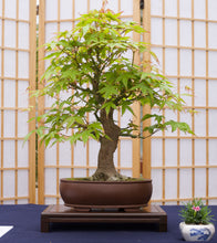 Load image into Gallery viewer, Bonsai Tree | Japanese Maple | The Jonsteen Company