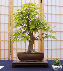 Bonsai Tree | Japanese Maple | The Jonsteen Company
