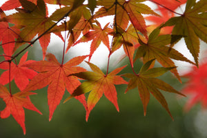 Japanese Maple | Small Tree Seedling | The Jonsteen Company