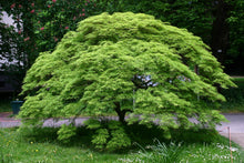 Load image into Gallery viewer, Japanese Maple | Small Tree Seedling | The Jonsteen Company