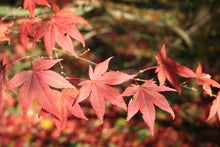 Load image into Gallery viewer, Japanese Red Maple | Small Tree Seedling | The Jonsteen Company