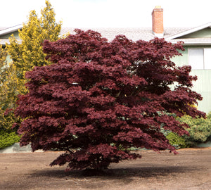 Japanese Red Maple | Small Tree Seedling | The Jonsteen Company