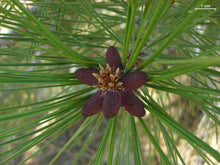 Load image into Gallery viewer, Jeffrey Pine | Small Tree Seedling | The Jonsteen Company