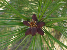 Load image into Gallery viewer, Jeffrey Pine | Medium Tree Seedling | The Jonsteen Company