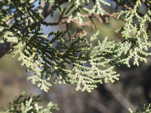 Load image into Gallery viewer, MacNab Cypress | Small Tree Seedling