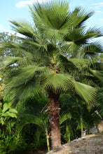 Load image into Gallery viewer, Mexican Fan Palm | Mini-Grow Kit | The Jonsteen Company