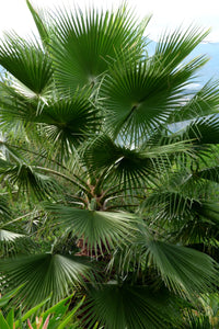 Mexican Fan Palm | Mini-Grow Kit | The Jonsteen Company