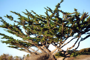 Monterey Cypress | Small Tree Seedling | The Jonsteen Company