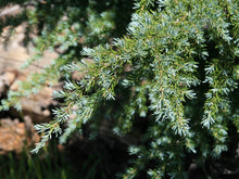 Load image into Gallery viewer, Mountain Hemlock | Small Tree Seedling | The Jonsteen Company