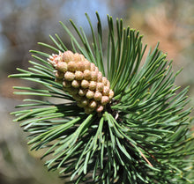 Load image into Gallery viewer, Mugo Pine | Medium Tree Seedling | The Jonsteen Company