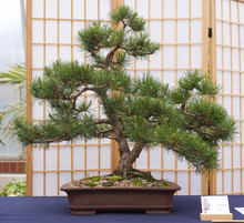 Load image into Gallery viewer, Mugo Pine | Medium Tree Seedling
