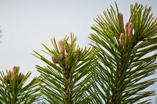 Load image into Gallery viewer, Mugo Pine | Small Tree Seedling