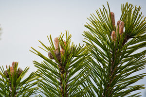 Mugo Pine | Small Tree Seedling