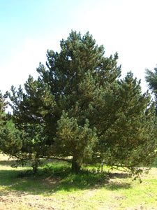 Mugo Pine | Small Tree Seedling | The Jonsteen Company