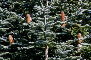 Christmas Tree | Noble Fir | The Jonsteen Company