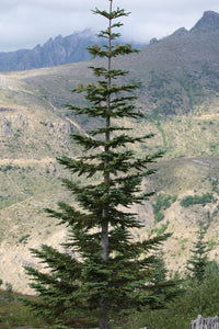Noble Fir | Small Tree Seedling | The Jonsteen Company