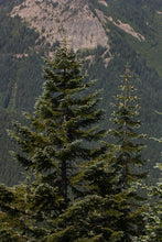 Load image into Gallery viewer, Noble Fir | Small Tree Seedling | The Jonsteen Company