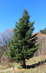 Nordmann Fir | Small Tree Seedling | The Jonsteen Company