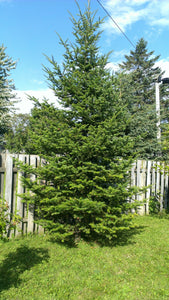 Nordmann Fir | Lot of 30 Tree Seedlings | The Jonsteen Company