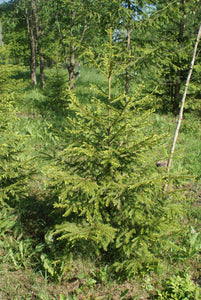Norway Spruce | Medium Tree Seedling | The Jonsteen Company