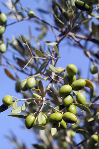 Olive Tree | Mini-Grow Kit | The Jonsteen Company