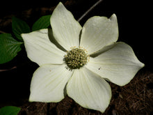 Load image into Gallery viewer, Pacific Dogwood | Small Tree Seedling | The Jonsteen Company