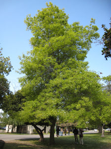 Pin Oak | Lot of 30 Tree Seedlings | The Jonsteen Company