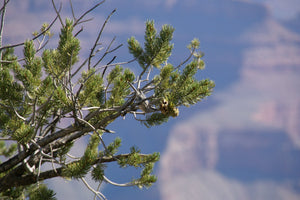 Piñon Pine | Small Tree Seedling | The Jonsteen Company