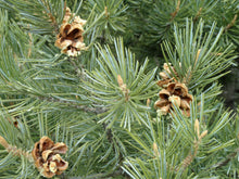 Load image into Gallery viewer, Piñon Pine | Seed Grow Kit | The Jonsteen Company