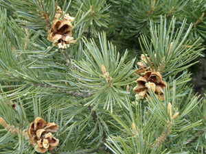 Piñon Pine | Seed Grow Kit | The Jonsteen Company