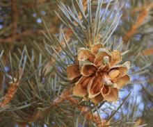 Load image into Gallery viewer, Piñon Pine | Pinus monophylla | Small Tree Seedling | The Jonsteen Company