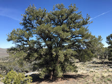 Load image into Gallery viewer, Piñon Pine | Pinus monophylla | Medium Tree Seedling | The Jonsteen Company