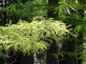 Pond Cypress | Medium Tree Seedling | The Jonsteen Company