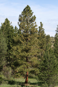 Ponderosa Pine | Small Tree Seedling | The Jonsteen Company