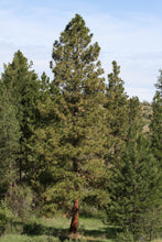 Load image into Gallery viewer, Ponderosa Pine | Seed Grow Kit | The Jonsteen Company