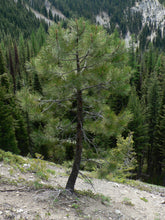 Load image into Gallery viewer, Ponderosa Pine | Small Tree Seedling | The Jonsteen Company